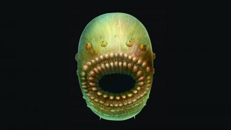 Kleiner Sack mit großem Mundwerk: Bizarres Lebewesen als Missing Link in der Evolutionstheorie