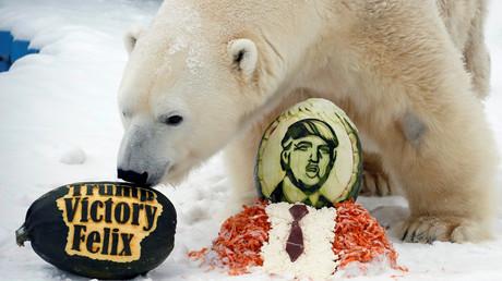 Russischer Bär und Trump - geht das gut? Eisbär Felix im Zoo von Krasnoyarsk freut sich jedenfalls.