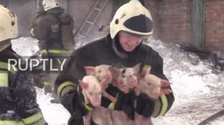 Russische Feuerwehr rettet 150 Ferkel aus brennendem Stall [VIDEO]