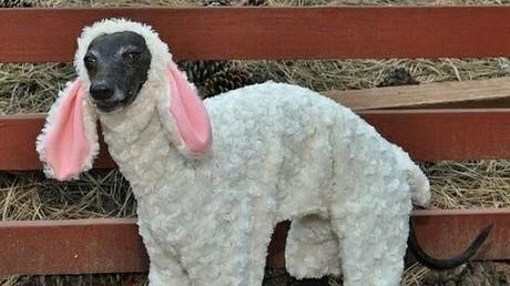 Tierbesitzer gibt seinen Vierbeiner für Schaf aus, um Hundesteuer zu hinterziehen (Illustration)