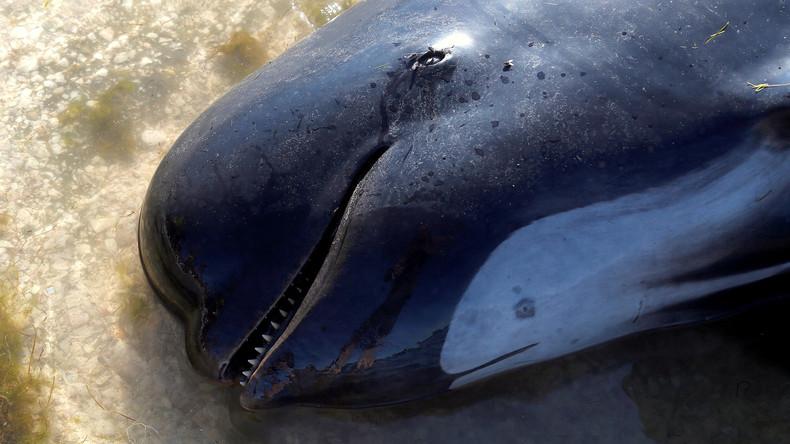 Weitere 200 Delfine stranden an Neuseelands Küste