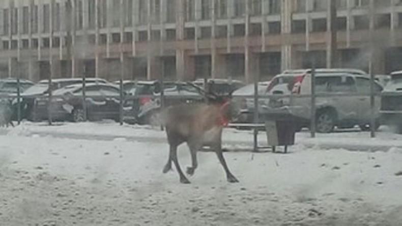 Polizisten fangen Rentier in Sankt Petersburg [VIDEO]