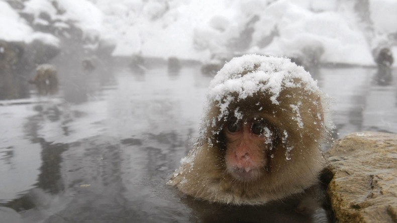 Brachiale Kulturpflege via Giftspritze: Japanischer Zoo vernichtet Schneeaffen wegen Fremdgen