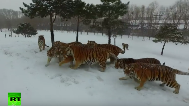 Tiger jagen Drohne