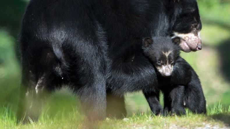 Erziehung bei Bären: Die Mutter hat immer Recht [VIDEO]