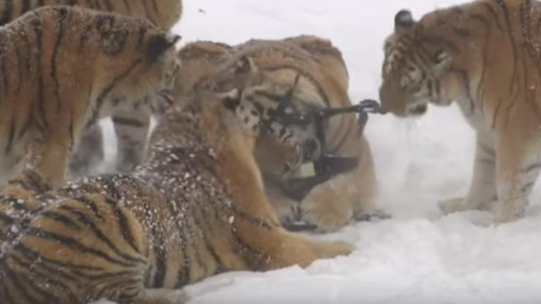 Mollige sibirische Tiger wurden in China zum Schlachten gezüchtet - Tierschützer