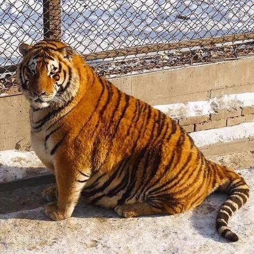 Sibirische Tiger in China sind füllig wie runde Tiere aus Pixar-Trickfilmen [FOTOS]