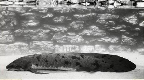 Der älteste Aquariumfisch weltweit stirbt mit über 90 Jahren