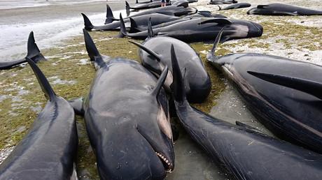 400 Delfine in Neuseeland auf die Küste aufgelaufen