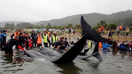 Gut 200 gestrandete Delfine kehren zurück ins Meer