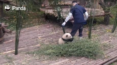Kleiner Pandabär stört Zoowächter und wird zu Internet-Star