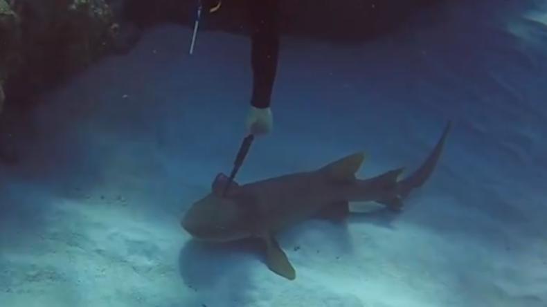 Haifisch mit Messer im Kopf bittet Taucher um Hilfe [VIDEO]