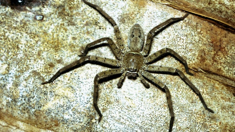 Spinne mit Nachwuchs verbreitet Angst und Schrecken im Internet [VIDEO]