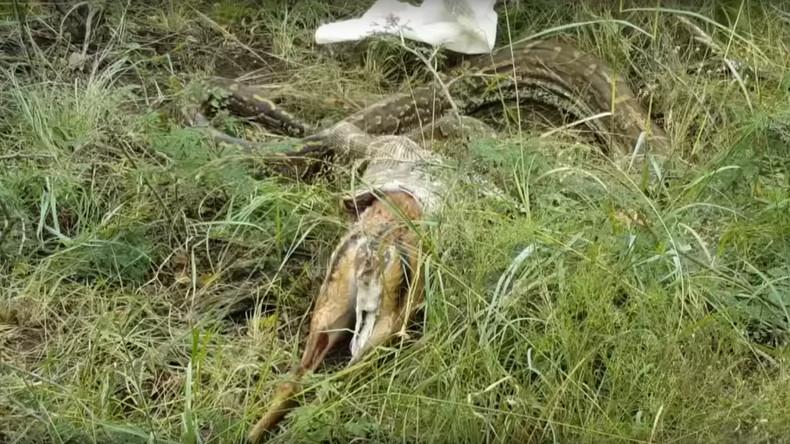 Kein Spaß am Essen: Python spuckt Antilope aus [VIDEO]