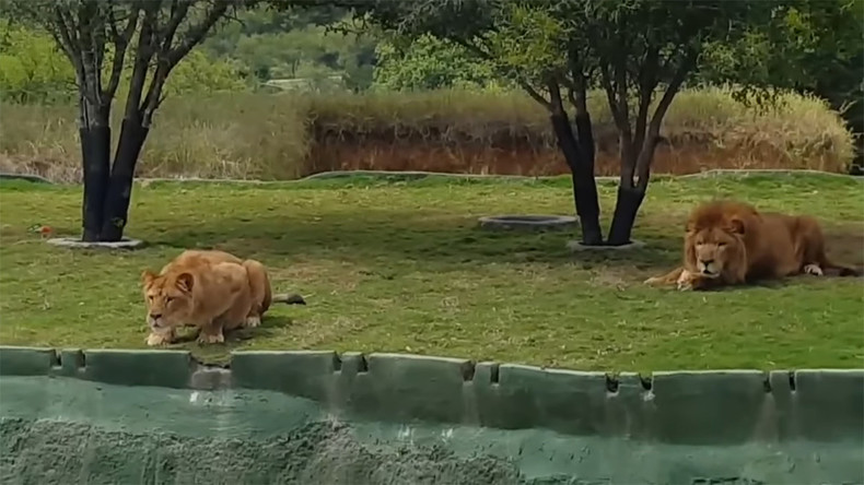Löwin springt Touristen in Safaripark an [VIDEO]