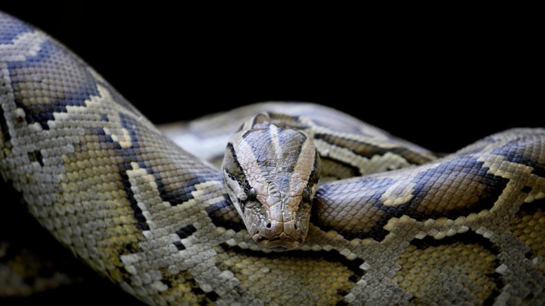 Riesiger Python verschlingt Erntearbeiter in Indonesien