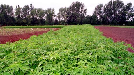 Deutschland beginnt staatlichen Anbau des Hanfs
