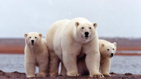 Polarbären an der Beaufortseeküste; 6. März 2007.