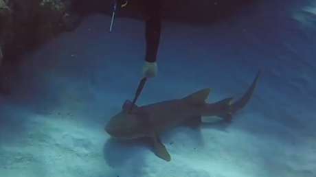 Haifisch mit Messer im Kopf bittet Taucher um Hilfe
