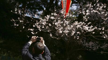 Freude in Japan: Kirschbäume blühen fünf Tage früher als gewöhnlich auf