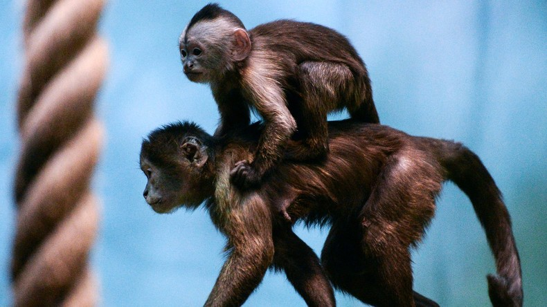 Kapuzineräffchen-Baby im Moskauer Zoo zur Welt gekommen