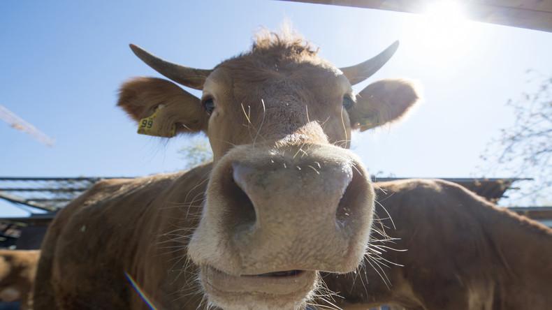 KUHrios: Bauer muss für Kühe GEZ-Gebühren zahlen
