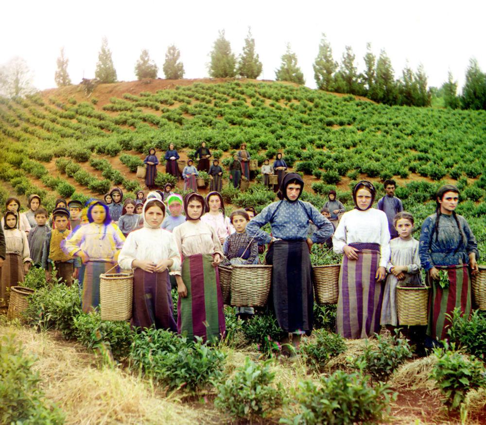 Eine Gruppe von Arbeitern bei der Ernte von Tee, Chakvi.