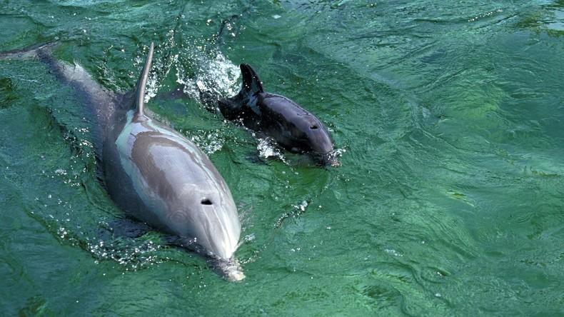 Dutzende Delfine vor russischer Schwarzmeerküste verendet