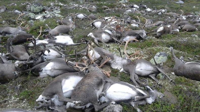 Tausende Rentiere in Norwegen müssen getötet werden