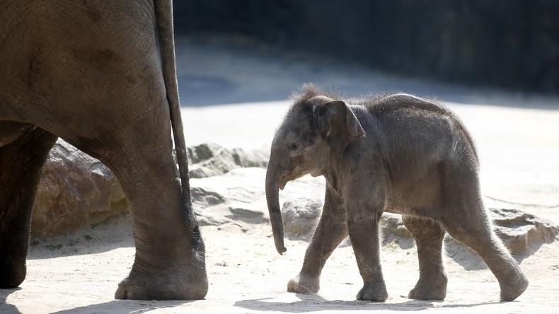 Baby-Boom im Kölner Zoo - drittes Elefantenbaby in diesem Jahr geboren