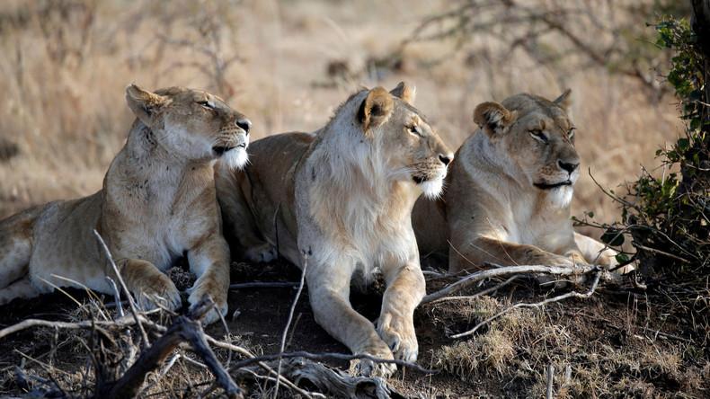 Südafrika erlaubt trotz Kritik Export von Löwenskeletten