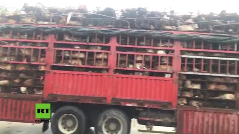 Russische Aktivisten retten 1.300 Hunde und Katzen vor Schlachtung bei Yulin-Festival in China
