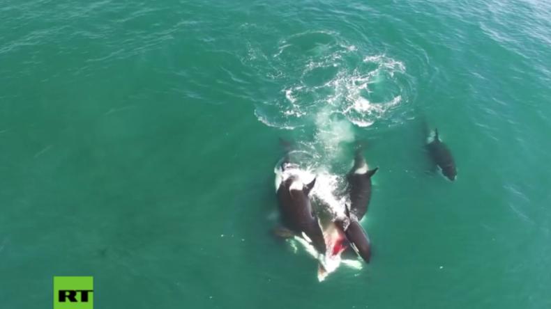 Sensationelle Drohnen-Aufnahmen aus Russland: Orcas attackieren und vertilgen Wal