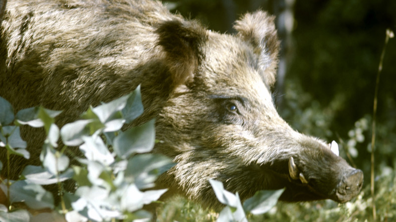Polen: 729 Kilometer langer Zaun gegen afrikanische Schweinepest