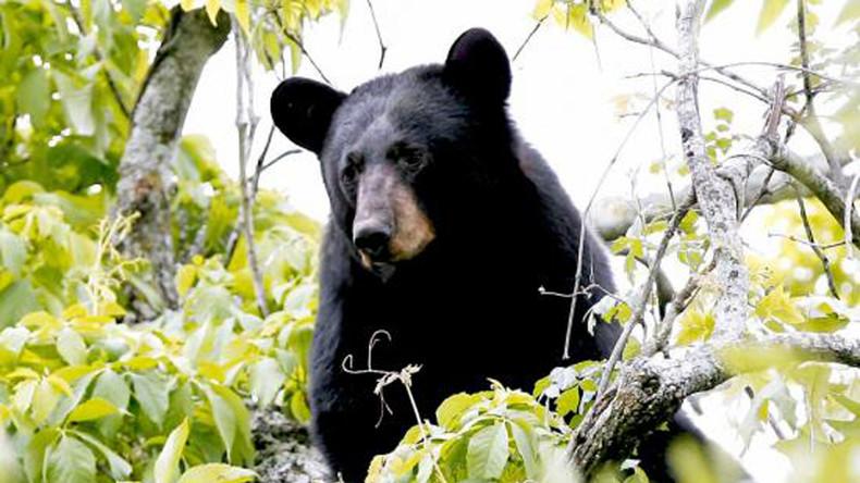 Guten Morgen, guten Appetit: Mitarbeiter eines Wildparks erwacht im Maul eines Schwarzbären