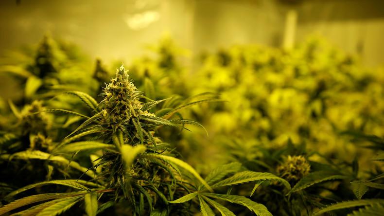 Marihuana-Engpass in Nevada: Gouverneur erleichtert Lizenzierung
