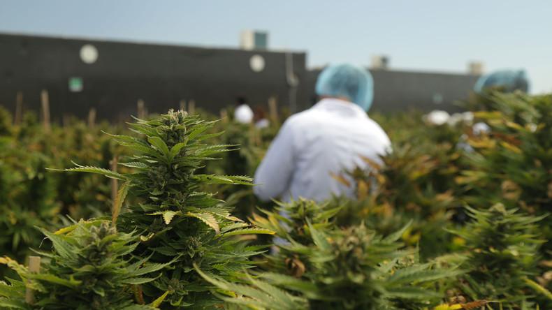 Weltweite Premiere: Uruguay startet staatlichen Marihuana-Verkauf