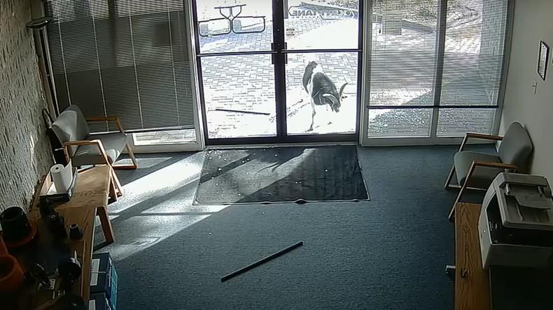 Täter noch auf freien Hufen – Zerstörungswütige Ziege schlägt Türen von Büro ein