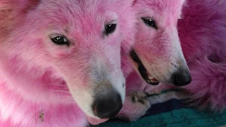 Russisches Verteidigungsministerium bildet rosa Hunde für Militärdienst aus [VIDEO]