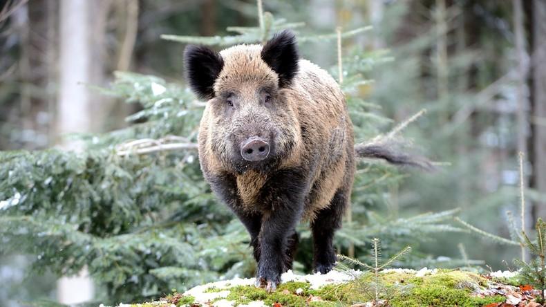 Zu viel Schwein in Rheinland-Pfalz: Wildsau verursacht drei Verkehrsunfälle mit vier Verletzten