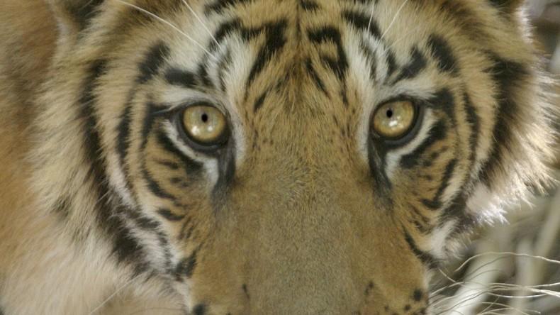 Abgemagerte Löwen und Tiger aus Zoo bei Aleppo befreit