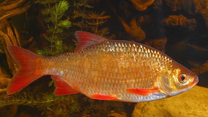 US-Amerikaner tötet Goldfisch nach Familienstreit und wird zu vier Monaten Gefängnis verurteilt
