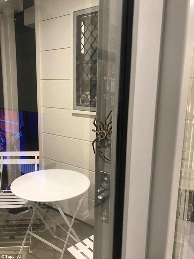Riesenspinne stattet australischem Paar Besuch ab [FOTO]