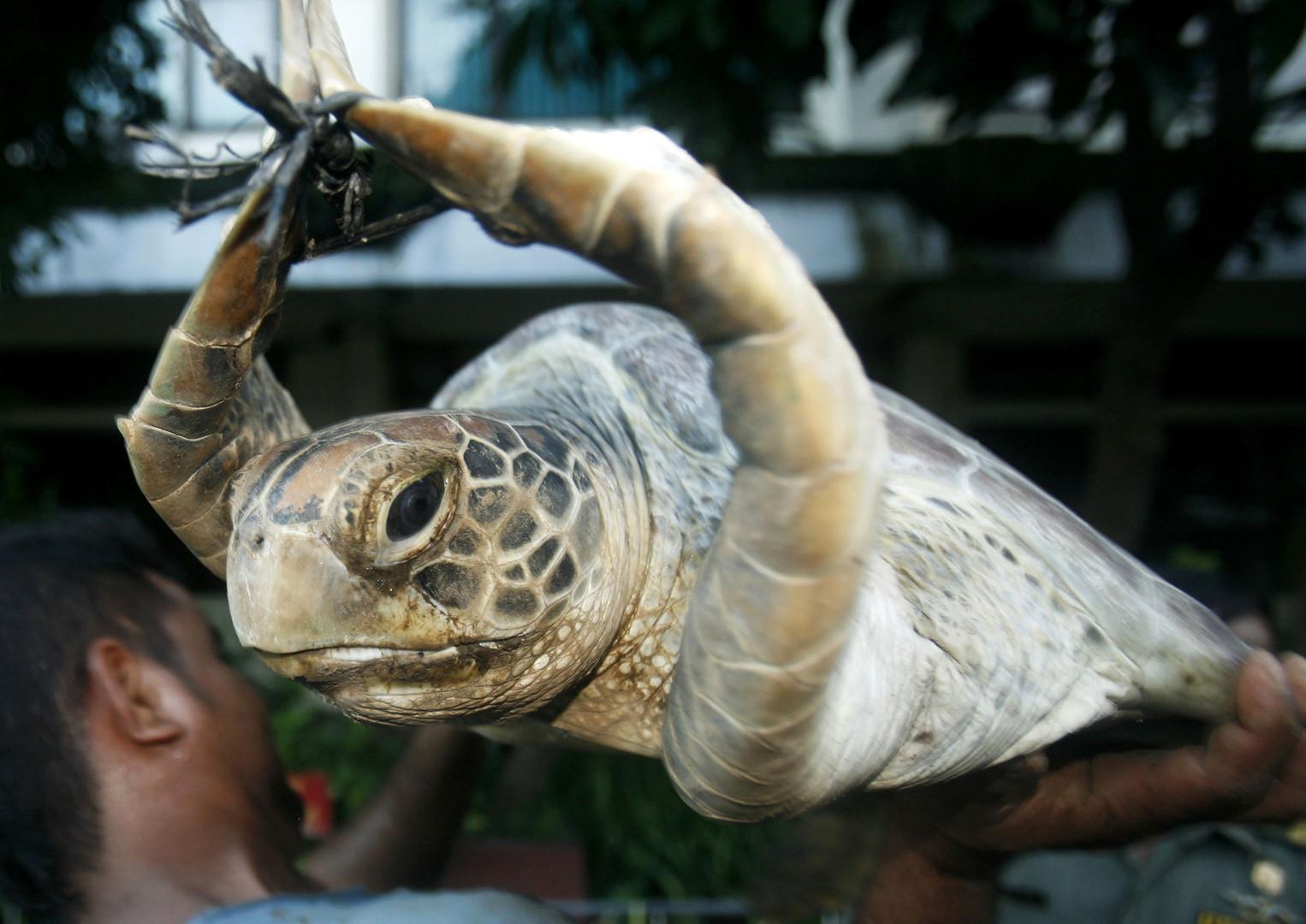 Diese Suppenschildkröte wurde mit ihren Artgenossen auf der Insel Bali im Jahr 2010 von der Polizei beschlagnahmt.