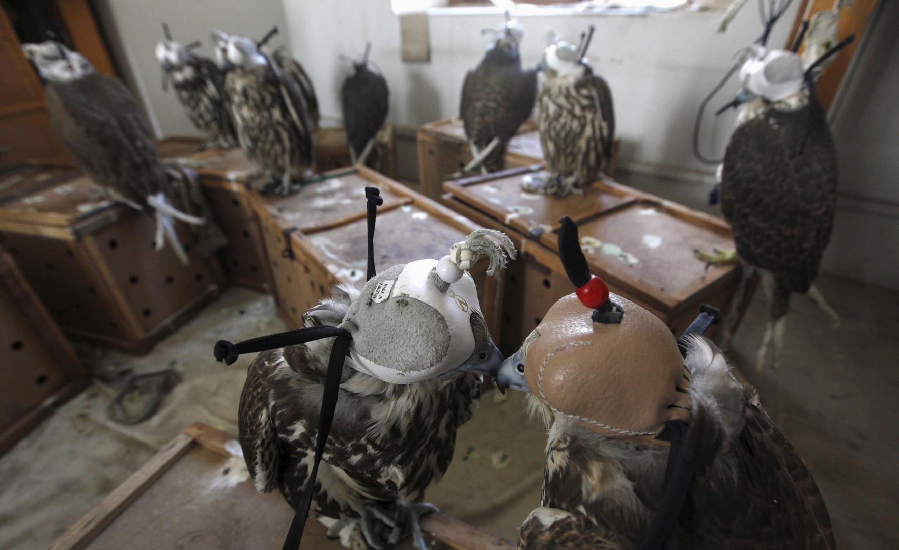 Diese Falken wurden im Jahr 2015 im Süden Pakistans bei Schmugglern beschlagnahmt.