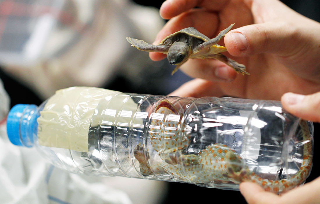 Der thailändische Zoll hielt im Jahr 2015 an der Grenze zwei Japaner auf, die in ihren Koffern versuchten Schildkröten, Murmeltiere, Schlangen und Geckos zu schmuggeln.