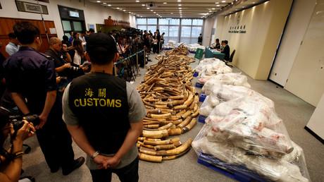 Gut sieben Tonnen Elfenbein in Hongkong unter Fischladung entdeckt