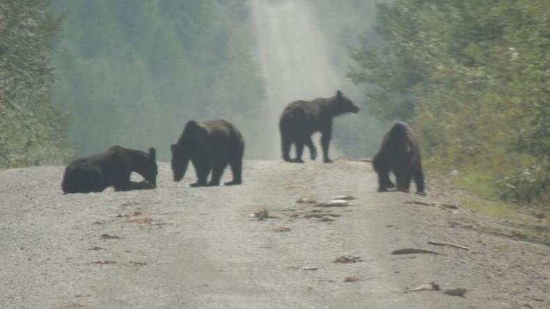 Glück für Bären: Eine Tonne Fisch aus Laster gefallen