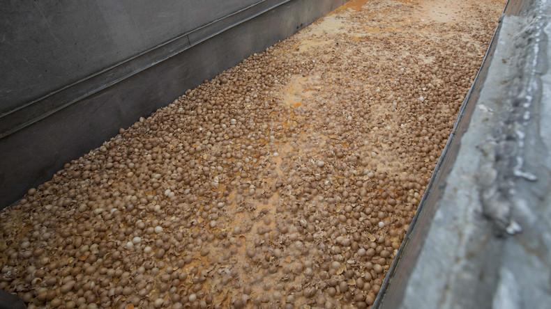 Etwa 700.000 Fipronil-Eier nach Großbritannien gelangt - etwa 33 mal so viel wie bislang vermutet