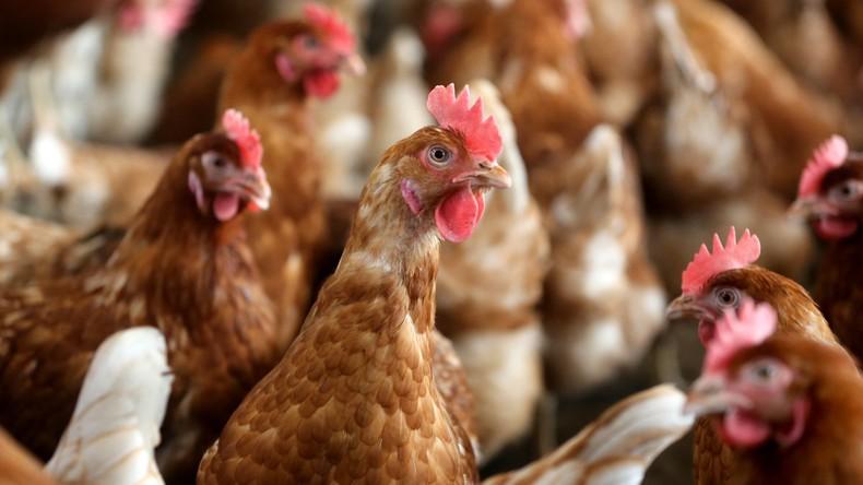Erster Fall von Vogelgrippe: Philippinen töten 400.000 Tiere